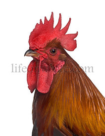 Side view of a Ardennaise rooster isolated on white