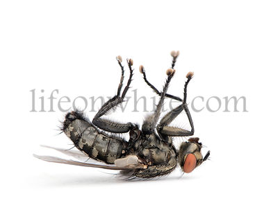 Flesh fly lying on back, Diptera, in front of white background, studio shot