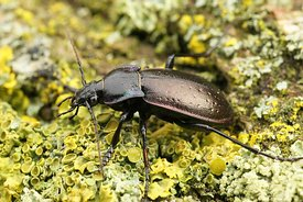 Closeup on a large ground beetle,  the Bronze Carabid, Carabus nemoralis on green moss