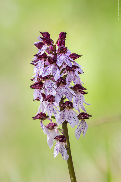 orchis_pourpre-75