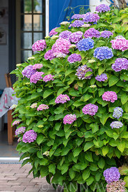 Hydrangea in bloom on a garden terrace of a country house∞Hortensia en fleur sur une terrasse de jardin d'une maison de campa...