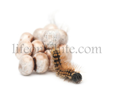 Egg and new born caterpillar of Giant Peacock Moth, Saturnia pyri, against white background