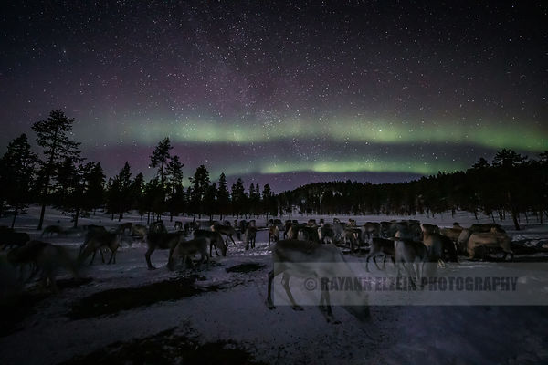 Reindeer under the aurora in Inari in the north of Finnish Lapland