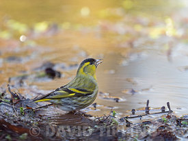 Eurasian Siskin Spinus spinus male drinking at woodland pool Norfolk winter