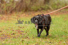 A black mixed breed dog on a leash