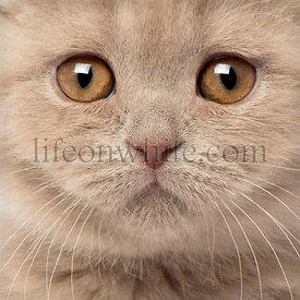 Portrait of Scottish Fold Kitten, 9 weeks old, close up on face