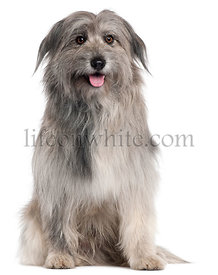 Pyrenean Shepherd dog, 18 months old, sitting in front of white background