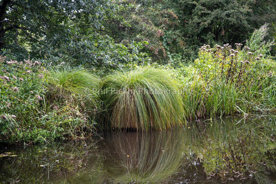 Clump of Greater Tussock-Sedge growing on the edge of the Montgomery canal in Shropshire.