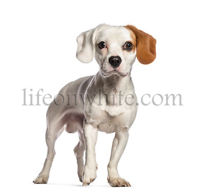 Mixed-breed dog with a cavalier king Charles and a jack Russell terrier, 1 year old, in front of white background