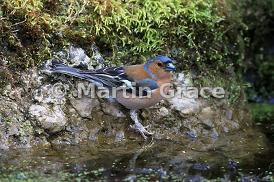 Common Chaffinch (Fringilla coelebs) male with skin disease on legs (see Description) at the edge of the garden pond, Lake Di...