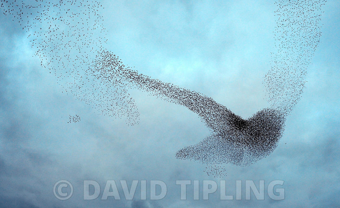 Starlings Sturnus vulgarus.  a murmurration - large flock in sky prior to going down to roost Gretna Scotland December