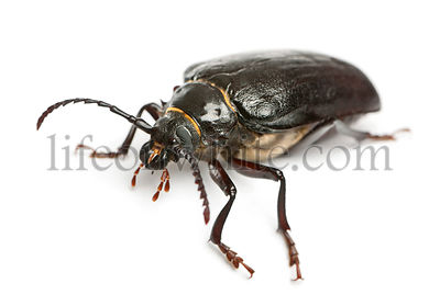 Tanner or sawyer, a species of longhorn beetle, Prionus coriarius, in front of white background