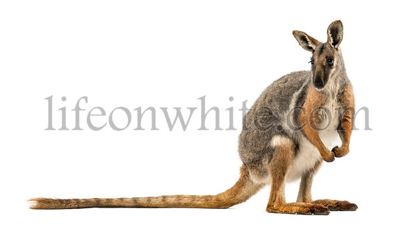 Side view of a Yellow-footed rock-wallaby standing, looking away, Petrogale xanthopus, isolated on white
