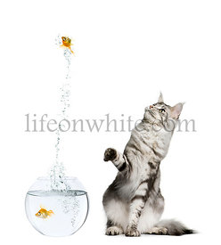 Cat watching goldfish leaping out of goldfish bowl against white background