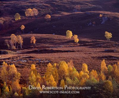 Image - Silver birch trees on hillside, autumn, Perthshire, Scotland