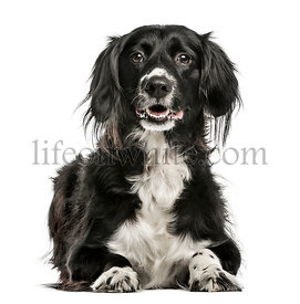 Mixed-breed dog, 10 years old, isolated on white