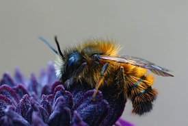 Closeup of a cute and hairy male Osmia rufa on a purple flower