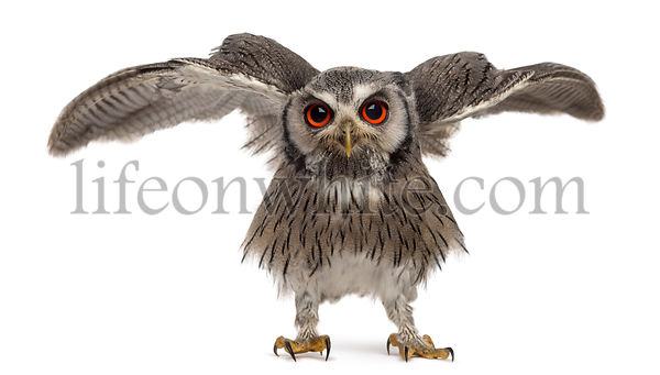 Northern white-faced owl spreading its wings - Ptilopsis leucotis (1 year old) in front of a white background
