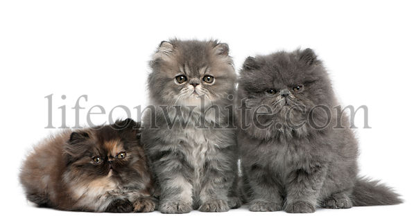 Persian kittens, 2 months old, sitting in front of white background