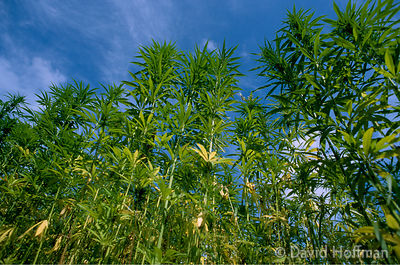 A field of cannabis plants