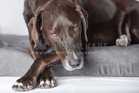 close up of brown lab hound mix with lying down with front paws crossed