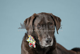 head shot of dark lab mix wearing colorful bow on collar