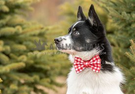 A pomksy dog wearing a bow tie