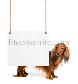 Dachshund, 4 years old, standing behind a white board hanging on strings against white background