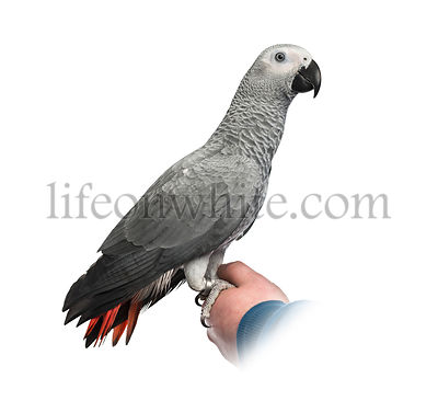 African Grey Parrot perched on a hand