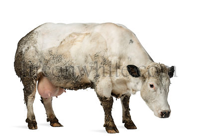 Dirty pregnant Belgian blue cow, isolated on white