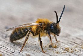 Closeup of the male of the Grey-gastered mining bee, Andrena tibialis