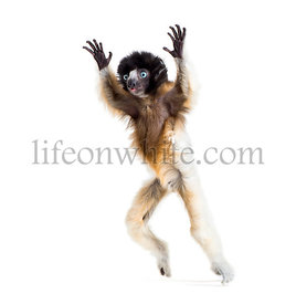 Soa, 4 months old, Crowned Sifaka, jumping against white background