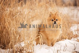 Orange pomeranian standing in the snow