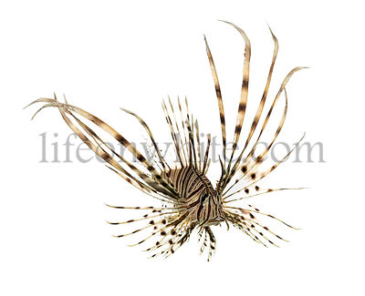 Pterois volitans or red lionfish swimming isolated on white