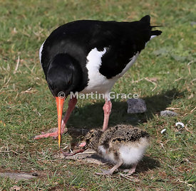 Eurasian Oystercatcher (Haematopus ostralegus) feeds an earthworm to its 3-4 day-old chick, Highland Wildlife Park, Kincraig,...
