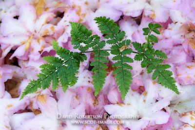 Image - Fern growing through a carpet of fallen rhododendron petals, Colonsay House Gardens, Isle of Colonsay, Argyll, Scotland