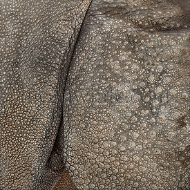 Close-up on Indian rhinoceros skin