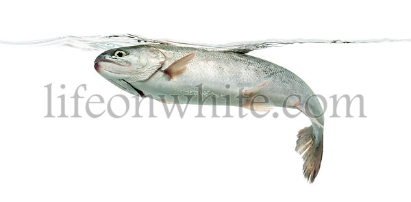 Blue rainbow trout swimming under water line, isolated on white