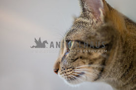 side profile of a tabby cat with a grey background