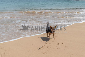 Small Terrier Mix Carrying Stick on Beach Next to Water