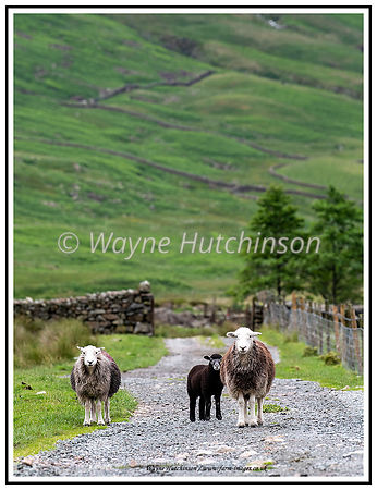 Herdwick sheep and lambs strolling down a farm lane in the Lake District, Cumbria, UK.