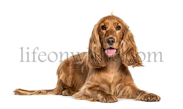 Panting English cocker spaniel lying, isolated on white