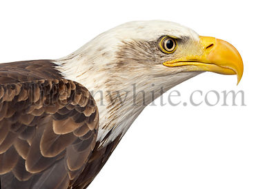 Close-up of a Bald eagle - Haliaeetus leucocephalus (12 years old) in front of a white background