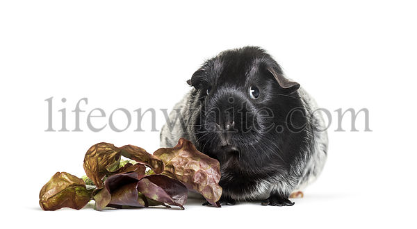 Guinea pig with leaves and looking at camera against white background