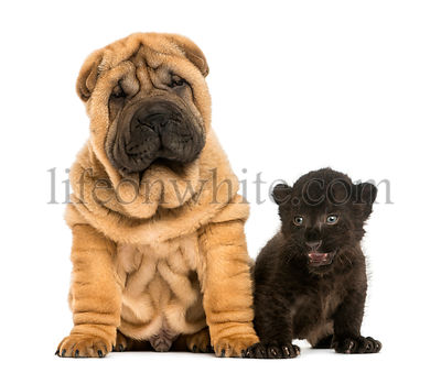 Shar pei puppy and Black Leopard cub sitting next to each other,  isolated on white