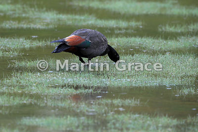 Male Paradise Shelduck (Tadorna variegata) in wetland habitat, Hooper's Bay, Dunedin, Otago, South Island, New Zealand