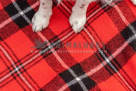 Dog paws on a red plaid blanket