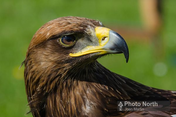 EAGLE 00A - Golden eagle