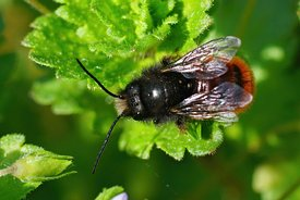 Closeup of the male of the horned orchard mason bee, Osmia cornuta in the garden
