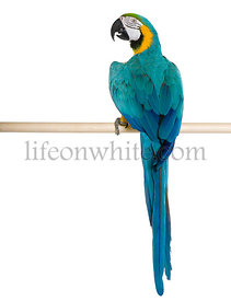 Young Blue-and-yellow Macaw perching in front of white background